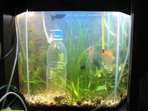 Малек гуппи когда сажать в общий аквариум 761